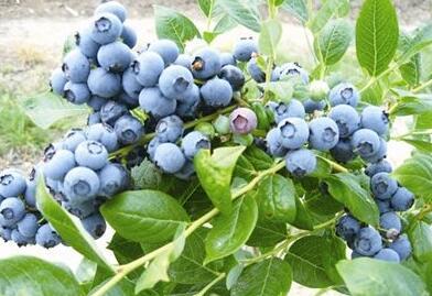 蓝莓的介绍