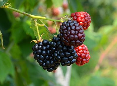 黑莓在美国