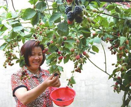 """科技让黑莓成为农民致富的""""生命果"""""""