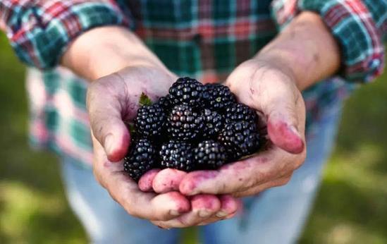 终于等到你,易胜博特点黑莓成熟啦,邀您来尝鲜!
